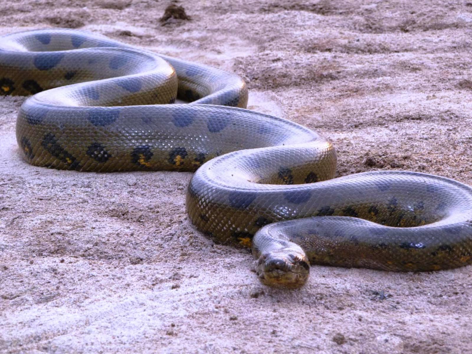 огромная змея картинки зависимости навыков можно