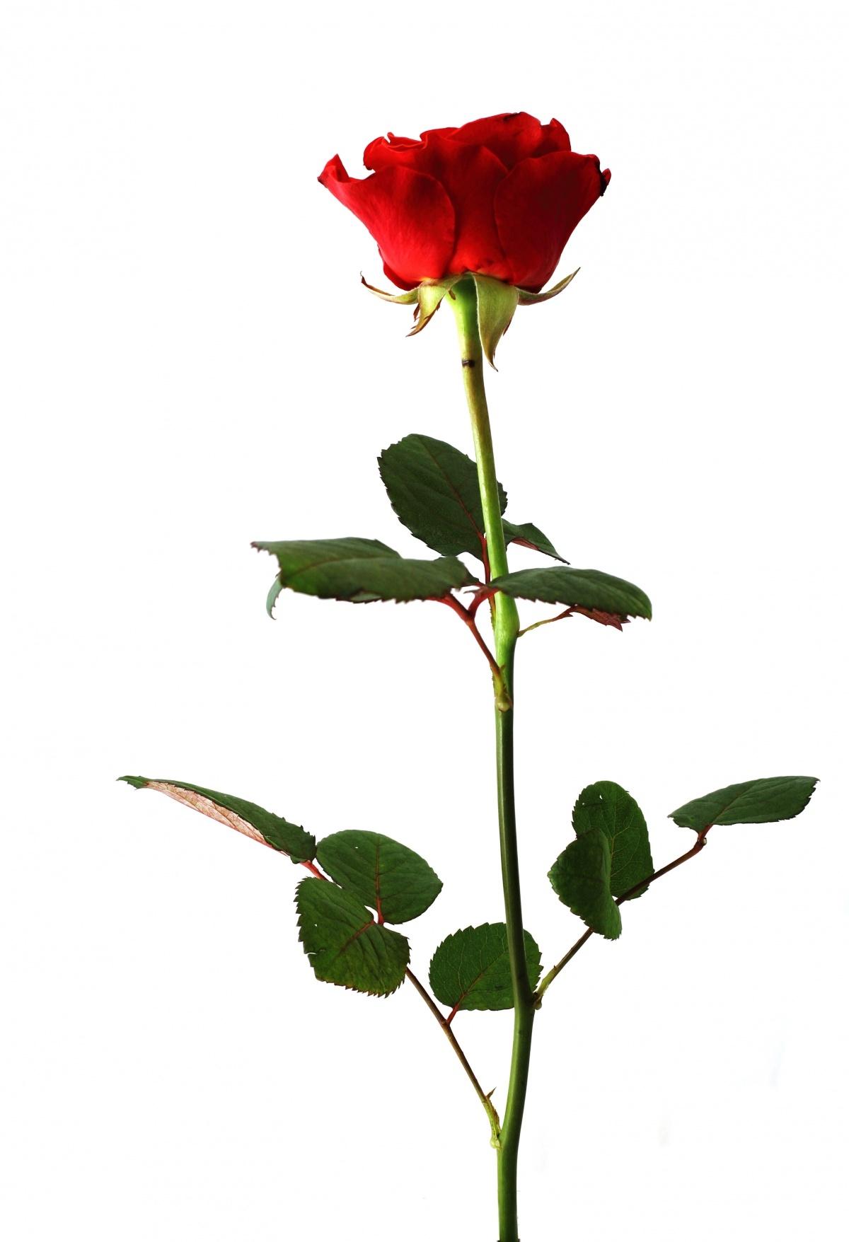 фото одной розы на белом фоне районе лос-фелис