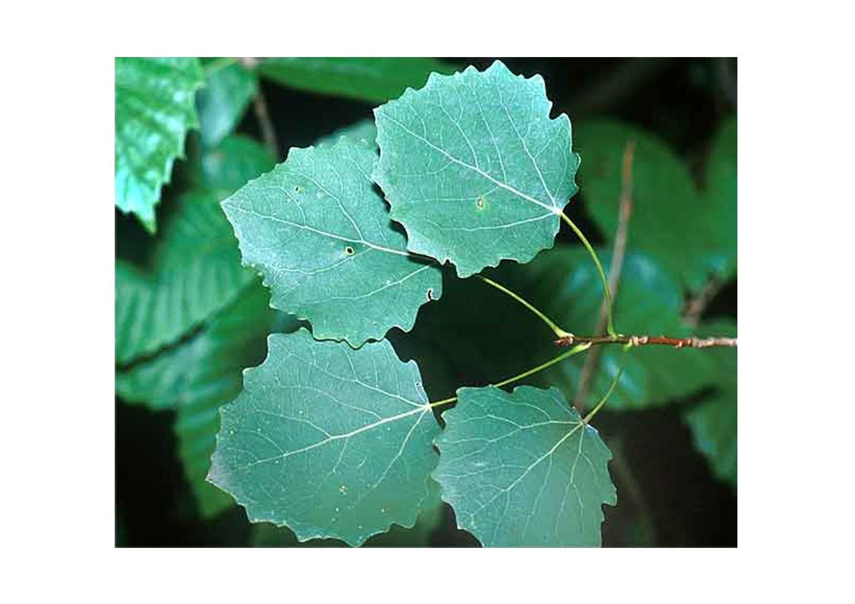 осиновый лист фото